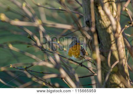 European Robin Redbreast - erithacus rubecula melophilus