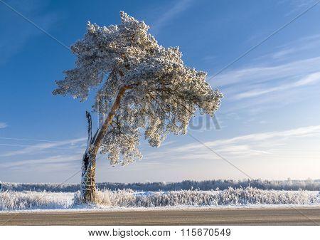 Snow Covered Single Pine Tree