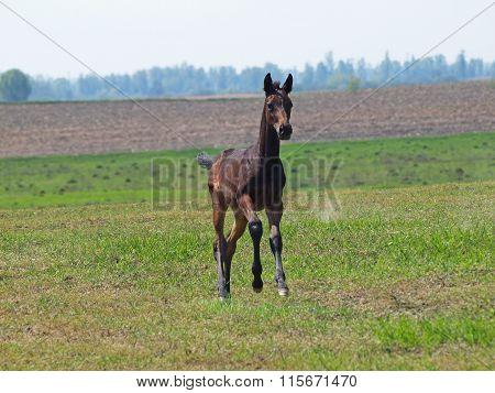 A little dark-bay foal gallops