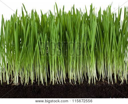 Grass leaves and roots