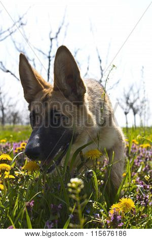 Belgian Shepard Sniffing In The Spring Grass