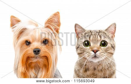 Portrait of a Yorkshire terrier and cat Scottish Straight