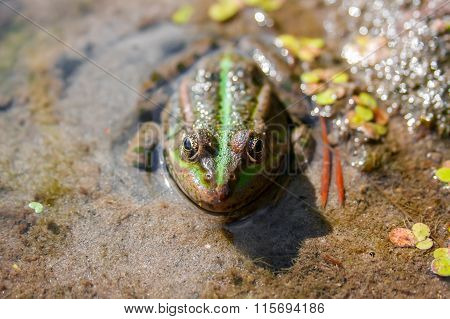 Brown Green Frog In A Bog Close Up Front View