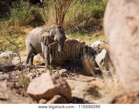 Chewing elephant