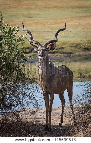 Proud greater male kudu in Okavango delta