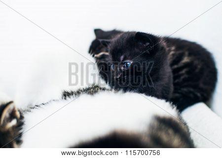 Tiny Black Kitten With Very Blue Eyes