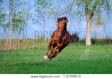 Auburn free horse galloping across a green field on a beautiful background.