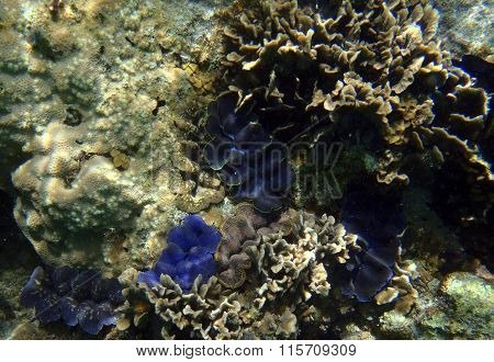 Group Of Giant Clams, Tridacna Maxima