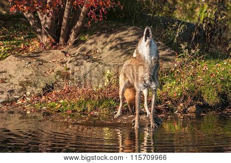 Coyote (canis Latrans) Howls By Pond