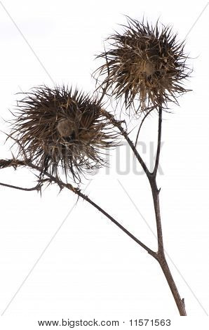 A Two Wilting Thistle On Dark Background