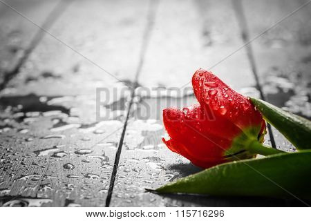 Fresh red tulip flower on wood. Wet, morning dew. Spring concept of romantic love, Valentine's Day, but may also be heartbreak