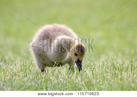 Gosling Eating Grass