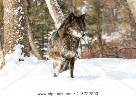 Black timber wolf on the prowl for food
