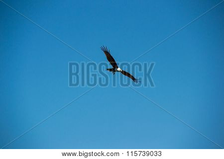 Swooping brown eagle in sky