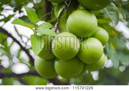 Green Pomelo Fruit  On A Tree