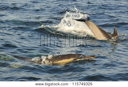 Group Of Dolphins, Swimming In The Ocean  And Hunting For Fish.