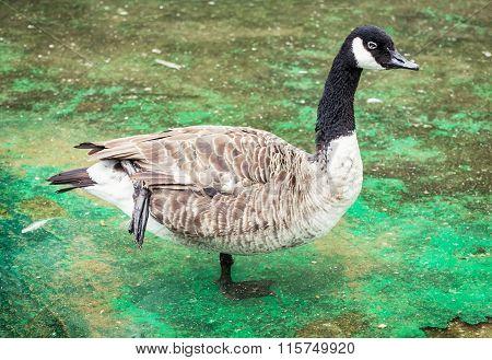 Canada Goose Portrait (branta Canadensis), Animal Scene