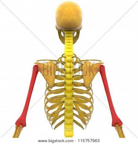 Human Skeleton Humerus Bones