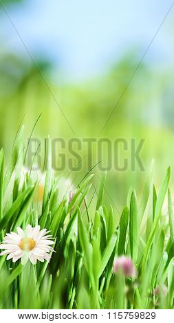 Beauty natural banner with chamomile flowers for your design