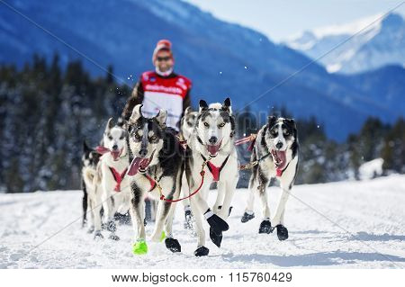 Dog Race On Snow