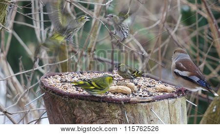 siskin and hawfinch on a forest background