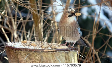 bird jay (garrulus glandarius) on forest background