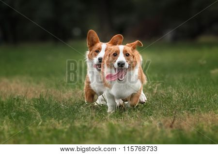 Two pembroke welsh corgi puppies running in the yard poster