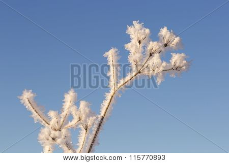 Cow Parsley Covered In Frost