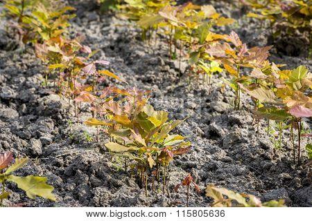 Young Oak Tree In The Oak Nursery