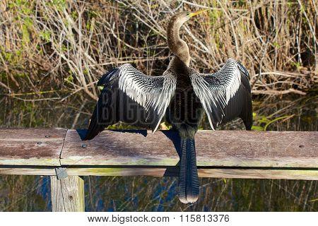 Anhinga Drying His Feathers