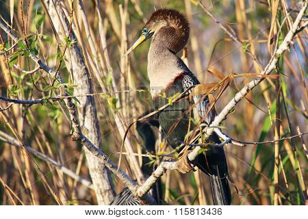 Anhinga In A Tree At Everglades National Park