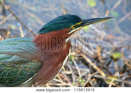 Portrait Of A Green Heron At Everglades