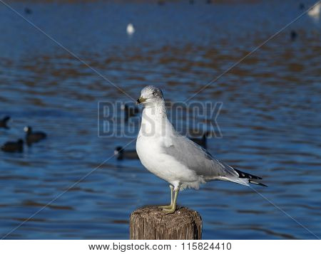 Majestic Sea Gull