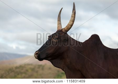 Zebu cow close up portrait