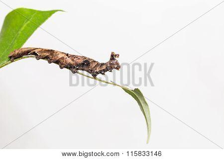 Caterpillar Of Blue Begum Butterfly