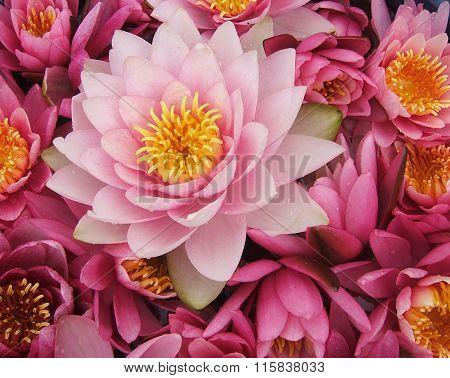 Pink waterlily flowers.