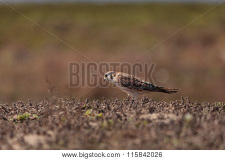 Female American kestrel bird, Falco sparverius