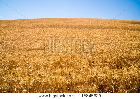 Golden Grasses Of The Golden State Of California