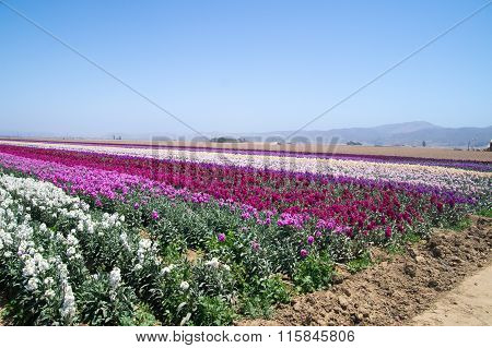 Rows Of Flowers Growing In California