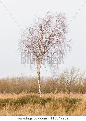Bare Silver birch (Betula pendula) in the dutch landscape poster