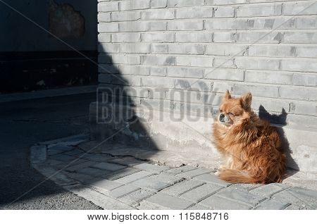 Small dog sheltering from the wind on a Beijing hutong street