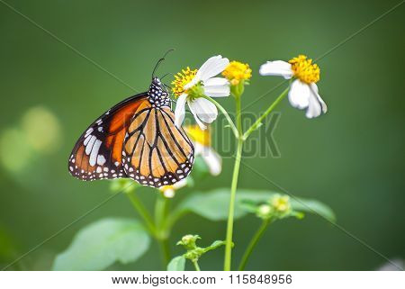 Closeup Of The .common Tiger Butterfly (danaus Genutia) Feeding On A Garden Flower