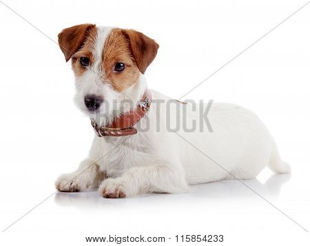 The small doggie of breed a Jack Russell Terrier lies on a white background poster