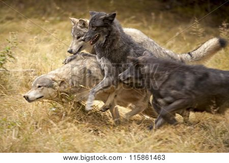 Wolf Pack at Play