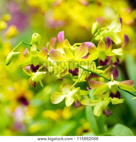 Beautiful Blooming Branches Of Yellow And Purple Orchid, Dendrobium On Nature Blur Background, Greet