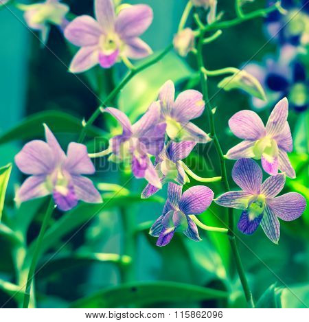 Beautiful Blooming Branches Of Orchid Dendrobium On Nature Blur Background, Toned Effect, Close Up