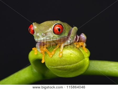 Baby Frog on Flower Bud