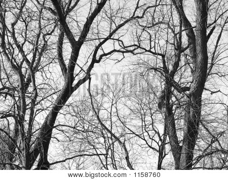 black and white image of leafless twisting tree branches against a winter sky. poster