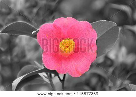 Pink Camelia Flower