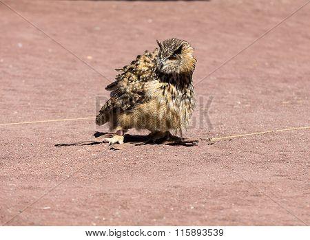 Owl - bird from the order Strigiformes
